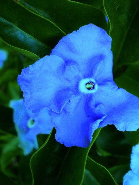 Pensamiento azul, flor, por Amílcar Moretti. 2013. Argentina.