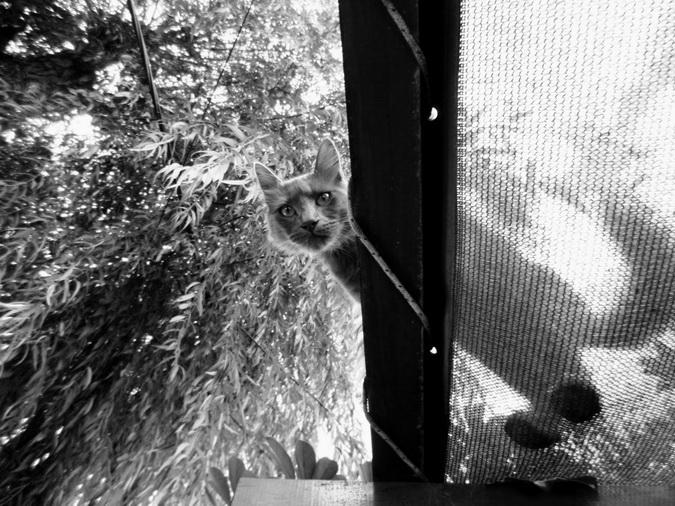 La gata de terciopelo gris Jenny Evans, mi vecina desconocida. Amílcar Moretti, abril 2013. Argentina.