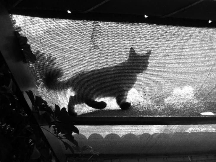 La gata de terciopelo gris Jenny Evans, mi vecina. Amílcar Moretti, abril 2013.  Argentina.